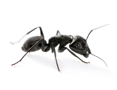 Which Ant Species Are Known For Invading Homes In Maine? And Can They Cause Damage To Property?