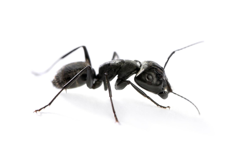 Carpenter Ants in Maine